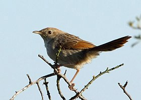 Cisticola subruficapillus -Namaqua National Park, Northern Cape, South Africa-6.jpg