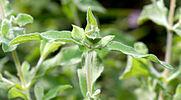 cistus incanus leafs aka