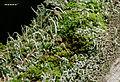Cladonia coniocraea - gewöhliche Säulenflechte - Ulota bruchii - Bruchs Krausblattmoos - Hesse - Germany - 01.jpg