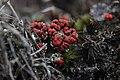 Cladonia sp. (35975490320).jpg