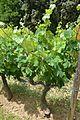 Clairette blanche - vines.jpg