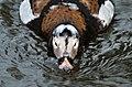 Clangula hyemalis (Long-tailed Duck - Eisente) - Weltvogelpark Walsrode 2012-11.jpg