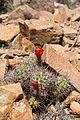 Claret-cup cactus (Echinocereus mojavensis); 3-13-2015 (16650887770).jpg