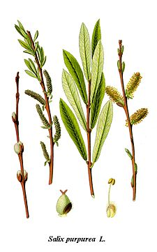 Cleaned-Illustration Salix purpurea.jpg