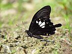 Close wing position of Papilio nephelus Boisduval, 1836 – Yellow Helen.jpg
