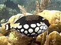 Clown triggerfish (Balistoides conspicillum) (42774022394).jpg