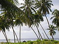 Coconut trees by the sea, Savai'i, Samoa.JPG