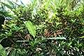 Codiaeum variegatum 57zz.jpg