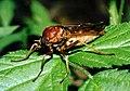 Coenomyia ferrugineaPCSL02513B1.jpg