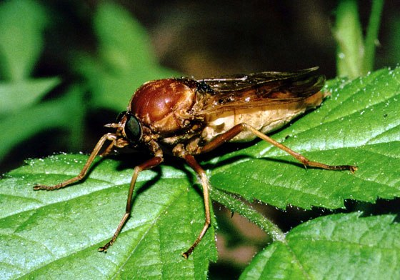 Coenomyia ferrugineaPCSL02513B1