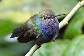 Colibri 11.jpg