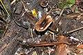 Collybia butyracea (30174864964).jpg