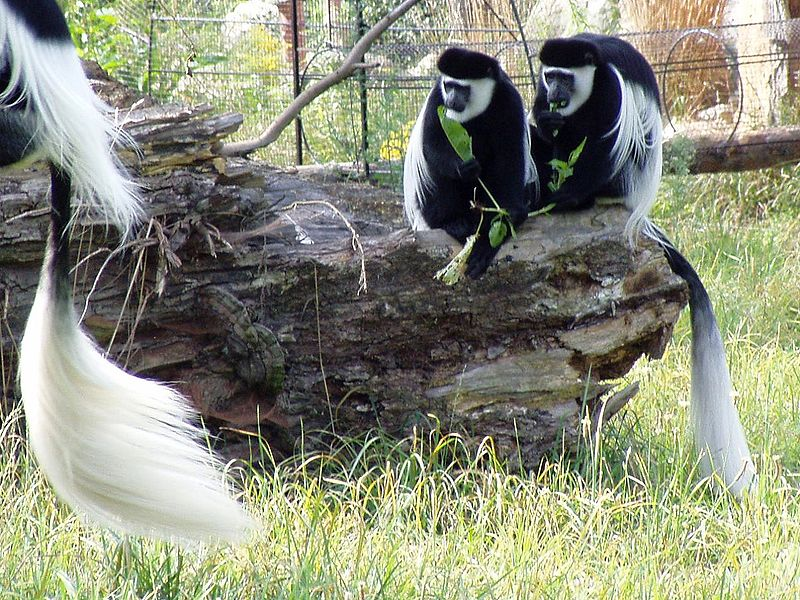 http://upload.wikimedia.org/wikipedia/commons/thumb/0/01/Colobus_guereza.jpg/800px-Colobus_guereza.jpg