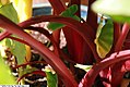 Colocasia esculenta Rhubarb 2zz.jpg