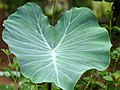 Colocasia esculenta at Kadavoor.jpg
