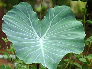 Colocasia esculenta - Leaf