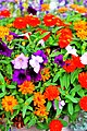 Colorful flowers in the garden of the Mayor - panoramio.jpg