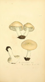 Coloured Figures of English Fungi or Mushrooms - t. 281.png