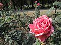 Colourful Roses 07.jpg