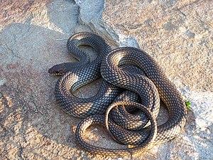 Colubridae - Caspian whipsnake, Coluber caspius