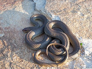 Colubridae Family of snakes