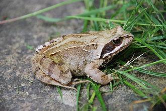 Common frog - Rana temporaria in the United Kingdom