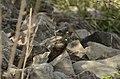 Common Cuckoo from Mordham Dam Nagpur JEG3641.jpg