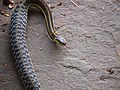 Common Eastern Garter Snake (7405012498).jpg
