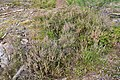 Common Heather (Calluna vulgaris) - Oslo, Norway 2020-08-24.jpg