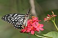 Common Mime - Papilio clytia (dissimilis form) on Jatropha panduraefolia in Kolkata Iws IMG 0244.jpg
