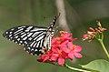Common Mime - Papilio clytia (dissimilis form) on Jatropha panduraefolia in Kolkata Iws IMG 0244.jpg