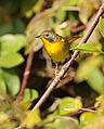 Common Yellowthroat 3.jpg