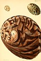 Conchologia iconica, or, Illustrations of the shells of molluscous animals (1843) (20490027330).jpg