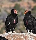 Condors on the Rise (15355958041).jpg