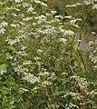 Conium maculatum plant (04).jpg