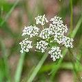 Conopodium majus in Aveyron (5).jpg