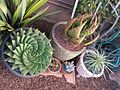 Container succulents (7230469390).jpg