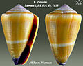 Conus flavidus 5.jpg