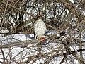 Cooper's hawk feeding on a blue jay 2.jpg