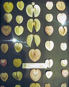 Corculum cardissa color variations.jpg