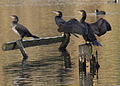 Cormorants 2 (4090147586).jpg