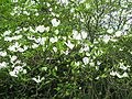 Cornus florida - Flickr - peganum (1).jpg