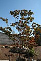 Cornus florida 20zz.jpg