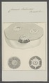 Coronula balaenaris - - Print - Iconographia Zoologica - Special Collections University of Amsterdam - UBAINV0274 101 02 0032.tif