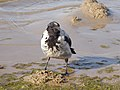 Corvus cornix Curonian Spit 02.jpg