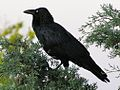 Corvus coronoides wth simple head posture.jpg