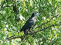 Corvus frugilegus 001.jpg