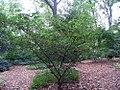 Corylopsis glabrescens 0zz.jpg