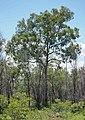 Corymbia trachyphloia subsp. carnarvonica.jpg