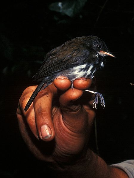 Ficheiro:Corythopis torquatus.jpg